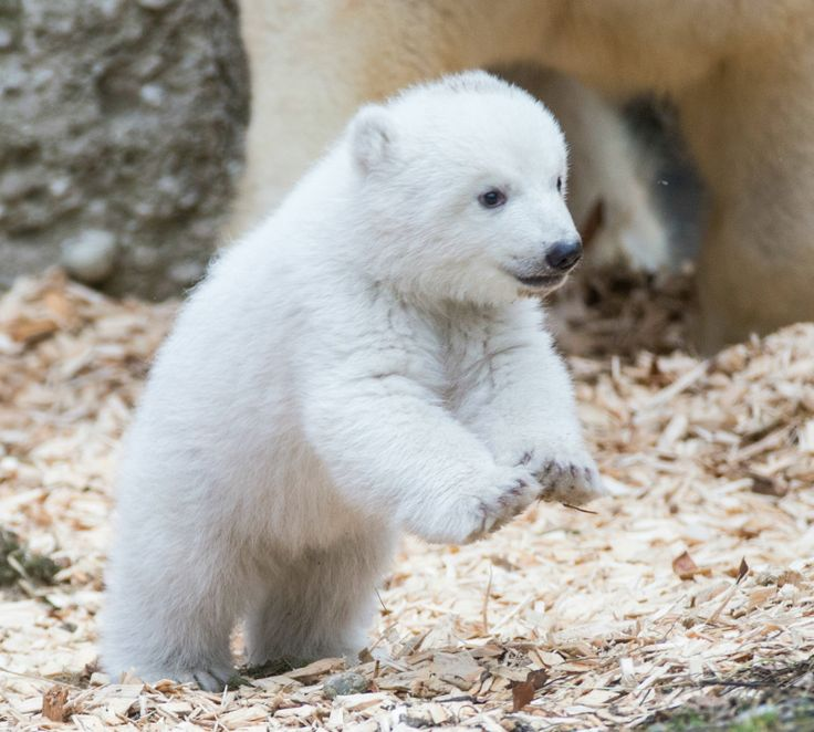 After 14 weeks snuggling with her mother in the birthing den, a big day arrived for a female Polar Bear cub at Munich Zoo Hellabrunn:  The baby and mom Giovanna emerged from the den for the first time to explore their tundra habitat.
