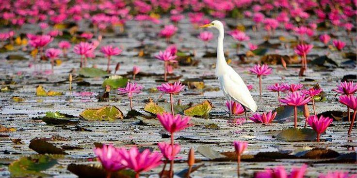 Menakjubkan, Danau Penuh Bunga Teratai Di Thailand - https://darwinchai.com/traveling/menakjubkan-danau-penuh-bunga-teratai-di-thailand/