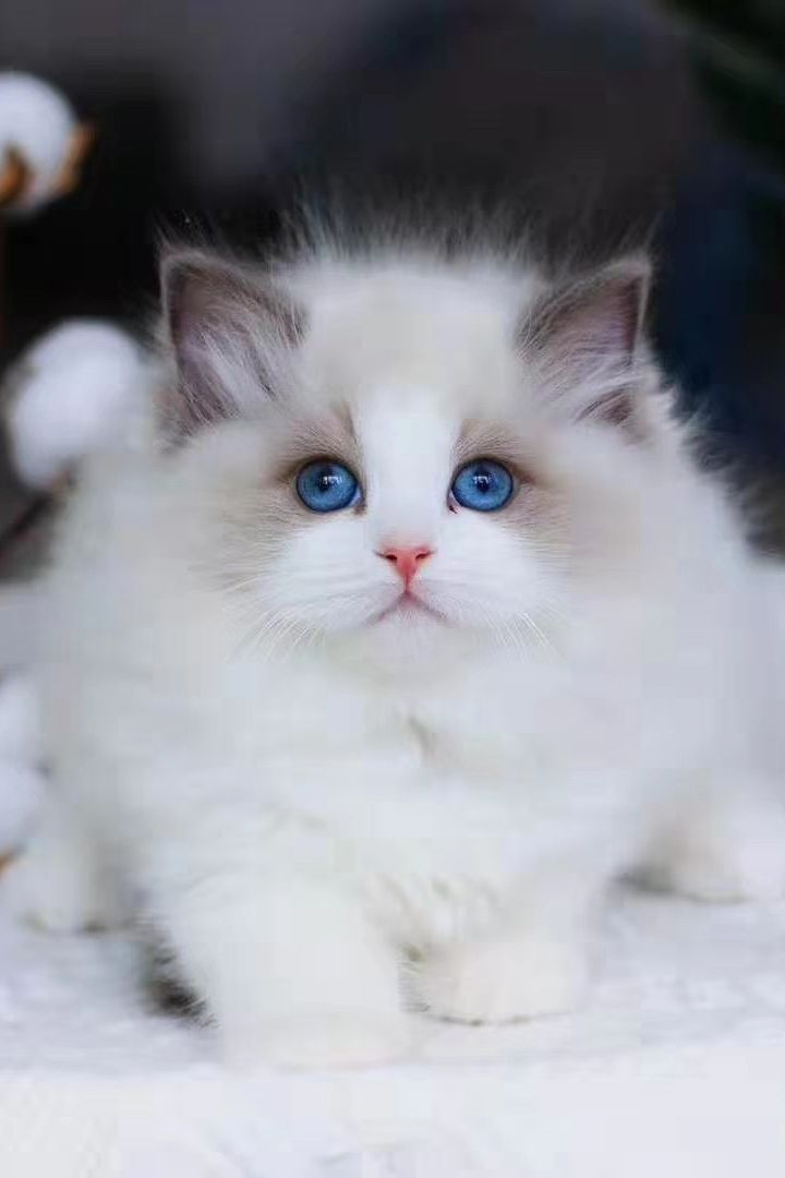 Are Ragdoll Cats Hypoallergenic In 2020 Cute Cats And Dogs Cute Cats And Kittens Cute Cats