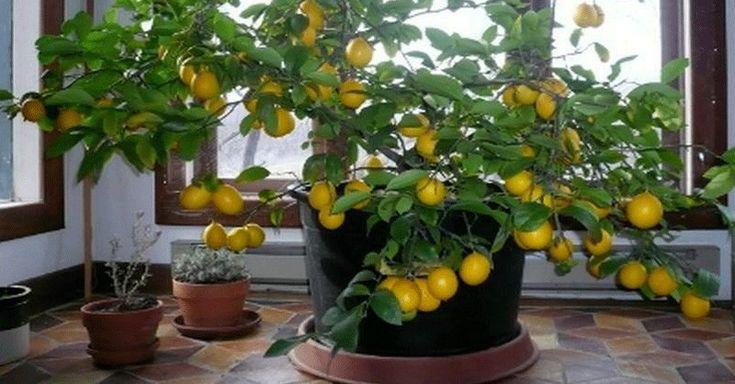 Ako si doma ľahko vypestujete vlastné nepostrekované citróny