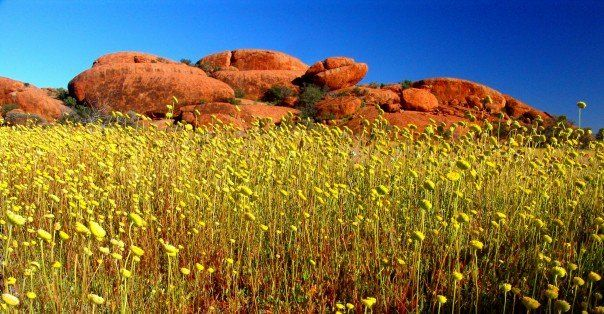 animals in wildflower pictures | ... Wooleen Station: 500,000 acres burst into colour in wildflower season