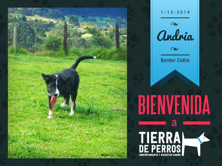 Border Collie, Tierra de Perros, Colegio, Guardería, Perros, Andria.