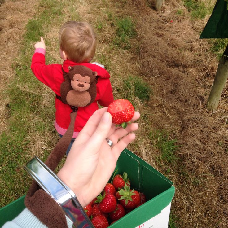 Strawberry PYO Pick Your Own Farm at Primrose Vale, Cheltenham (a family day out review)