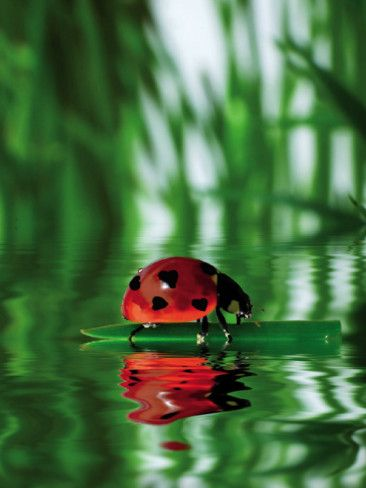 Marienkäfer Art Print - Floating on a pond on a hot summer day - beauty
