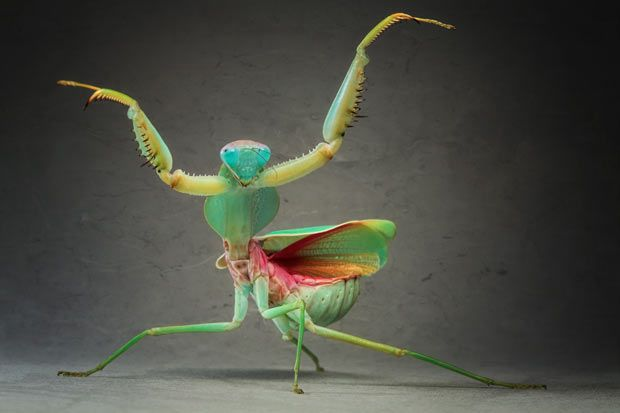 A Giant Malaysian Shield Praying Mantis  is pictured in Igor Siwanowicz's studio in Munich, Germany. Biochemist and photographer Igor Siwanowicz has spent the last seven years carefully acquiring, breeding and capturing bizarre and visually stunning images of creepy crawlies...