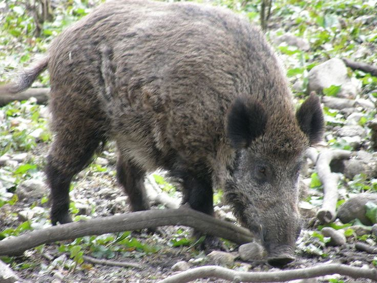 There are many wild boar in the district