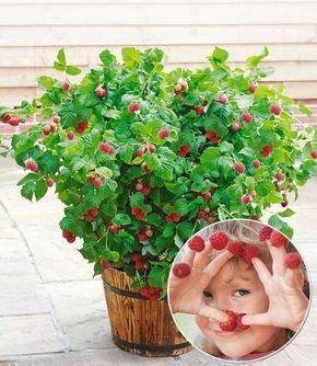 Stunning frambozenplant in pot Ruby
