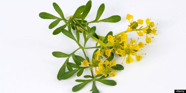 Muchas propiedades se han atribuido a la ruda a lo largo de los siglos, y aún hoy resulta una de las plantas medicinales más utilizadas, pero entre sus m...