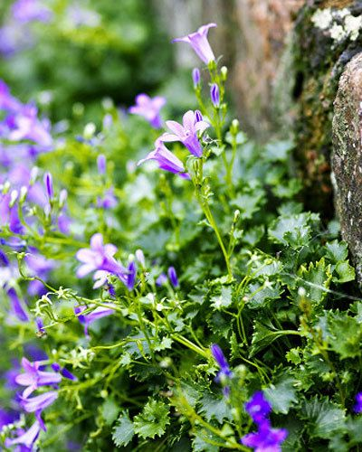 Graham's top groundcover plants - Serbian bellflower