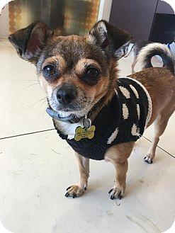 Beverly Hills, CA - Chihuahua/Shih Tzu Mix. Meet CARA, a dog for adoption. http://www.adoptapet.com/pet/10744264-beverly-hills-california-chihuahua-mix