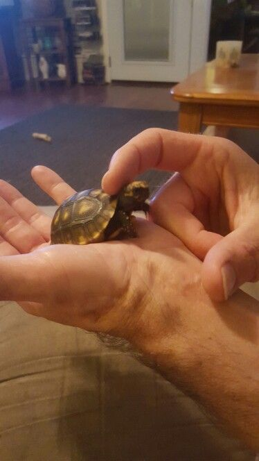 Tony Tortoise, my red foot tortoise, loves to have his head rubbed