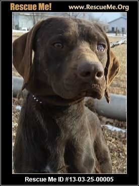 Popeye— Colorado German Shorthaired Pointer Rescue — ADOPTIONS — RescueMe.Org