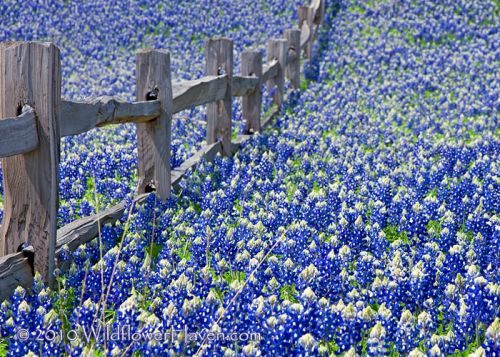Texas Bluebonnets I can remember every spring when we lived just north of Dallas... driving through the countryside on the way to Arkansas to see my parents.  miles and miles of bluebonnets as far as you can see. It is one of those sights that stays with you forever!