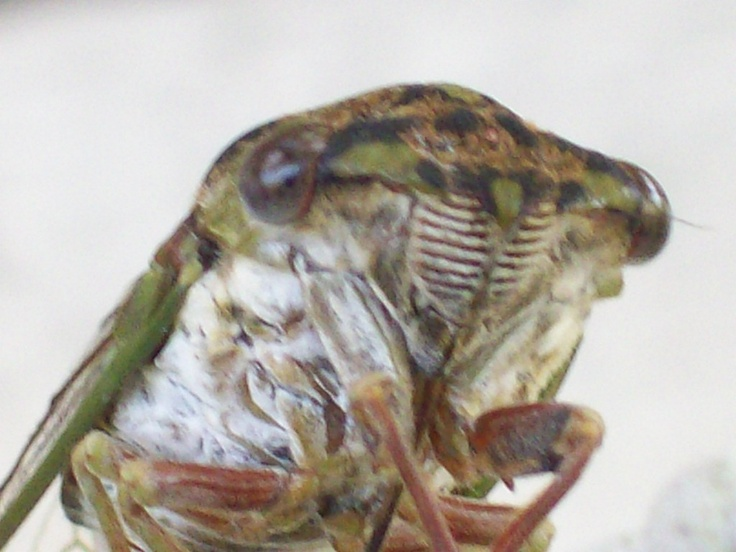 Cicada     - automobile manufacturers apparently based the design of radiator grills on the appearance of the Cicada nose.