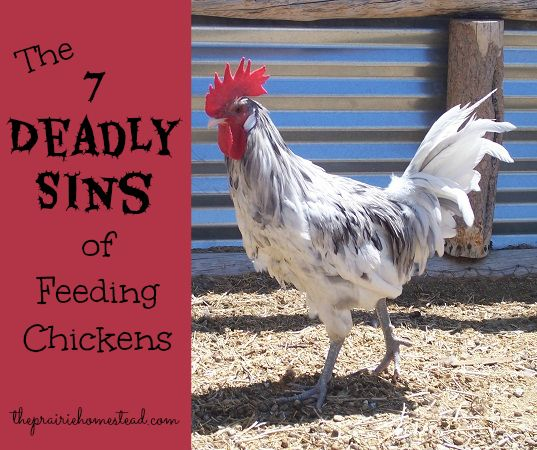 7 Things You Shouldnt Feed Your Chickens