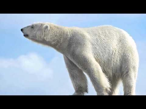 5 Unusual Facts About Polar Bears