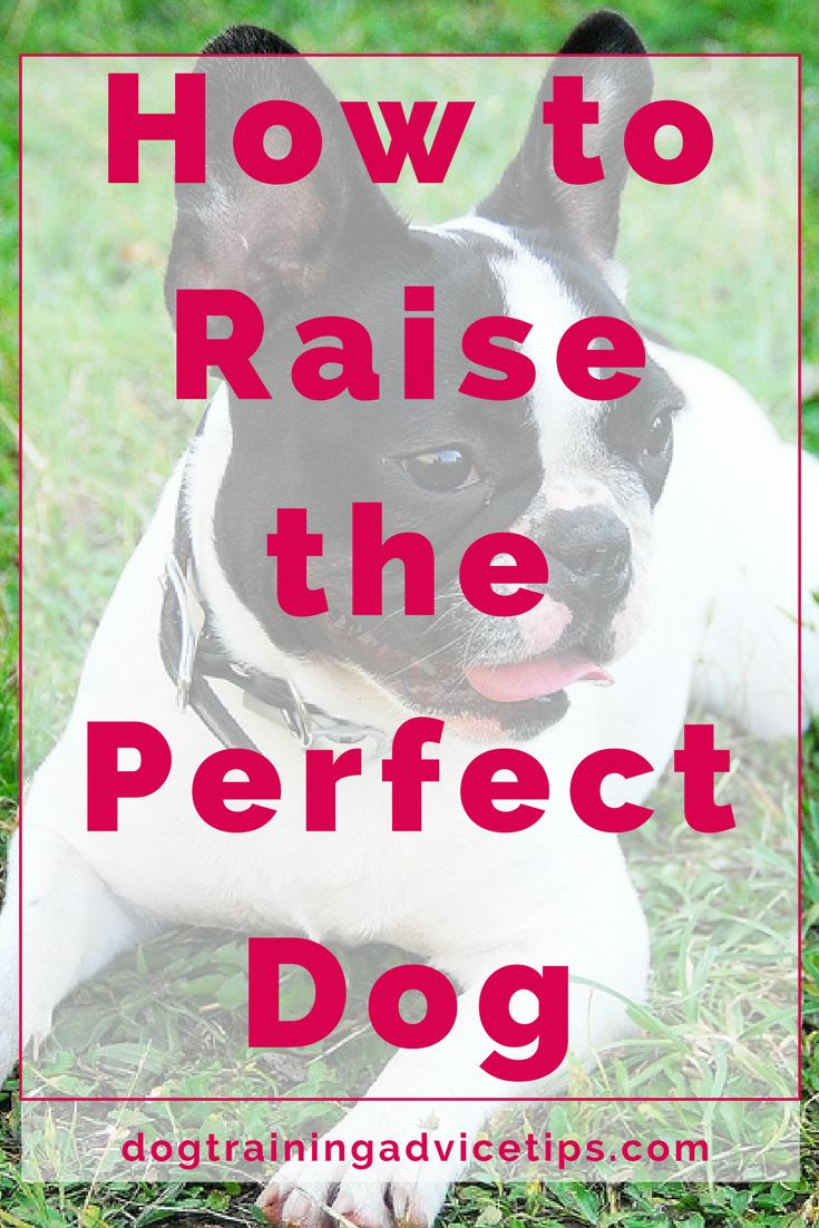 How to raise the Perfect Dog | Dog Training Tips | Dog Obedience Training | Dog Training Ideas | http://www.dogtrainingadvicetips.com/raise-perfect-dog