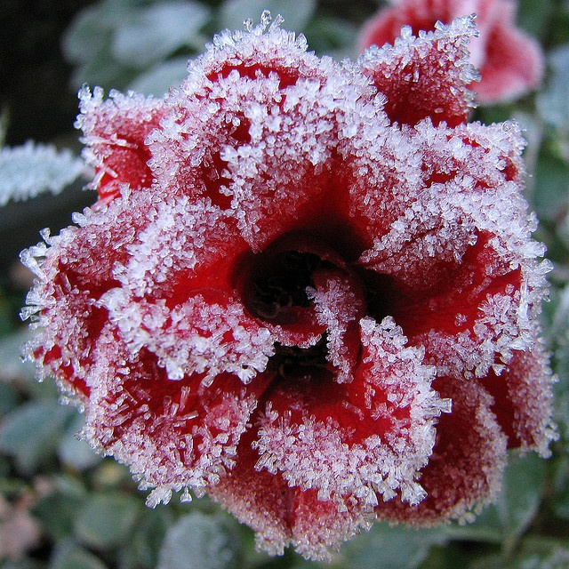 #Frosty Rose    http://wp.me/p291tj-8B