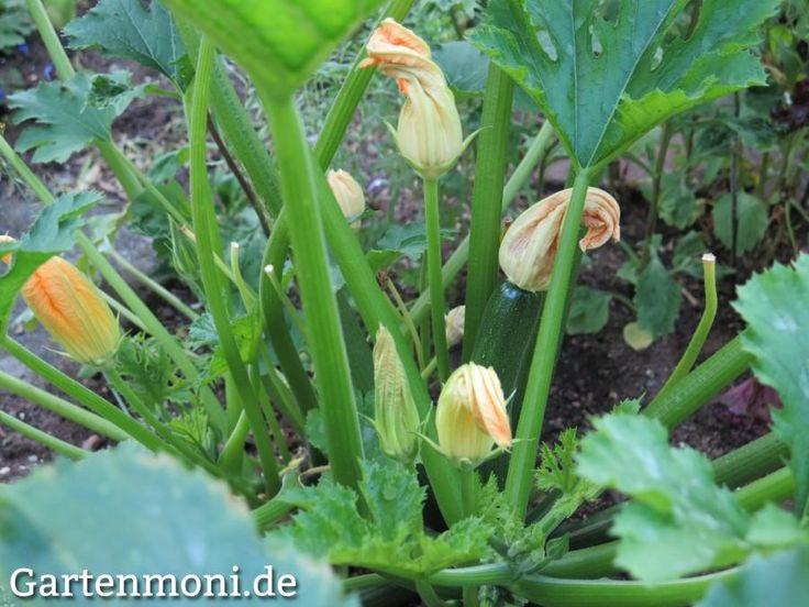 Zucchini Pflege