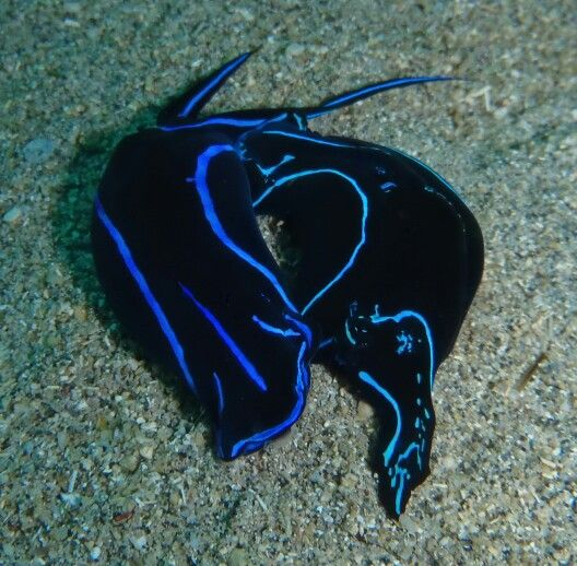 Nudibranch - Bunaken National Marine Park