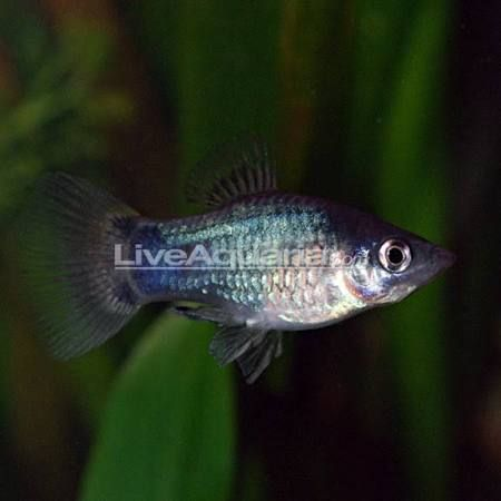 freshwater aquarium platy fish for sale online - Google Search
