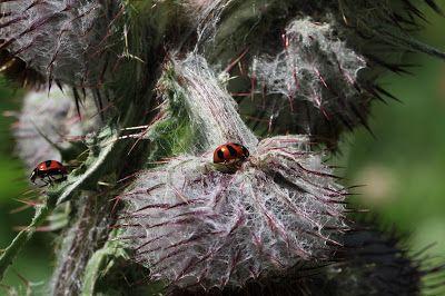 Cirsium edule - Edible Thistle with Ladybugs