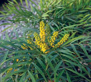 Few plants offer the texture that 'Soft Caress' provides the shade garden. In early winter, bright-yellow flowers stand atop the slender, bamboo-like foliage like fingers of light. Perfect for an Asian garden or as a specimen.