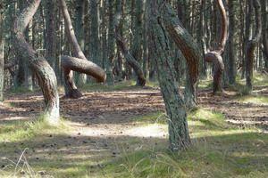 Dancing Forest in Kaliningrad Russia