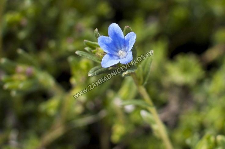 Lithodora diffusa 'Grace Ward' - kamejka