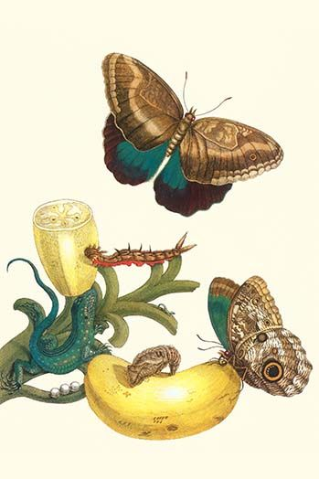 Banana Plant with Teucer Giant Owl Butterfly and a Rainbow whiptail Lizard by Maria Sibylla Merian - Art Print  #9785872874034 #Buyenlarge #General #Insects #MariaSibyllaMerian #New