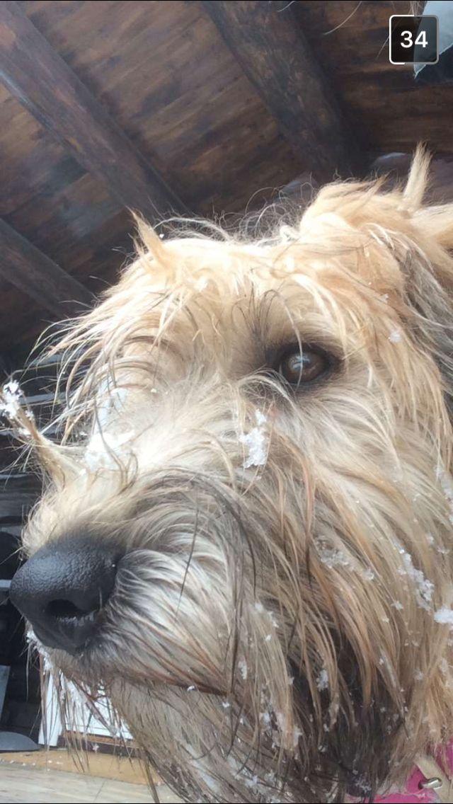 Weathen terrier