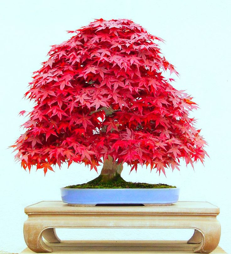 50 Japanese maple bonsai Seeds Drought Tolerant Easy Garden free shipping 4