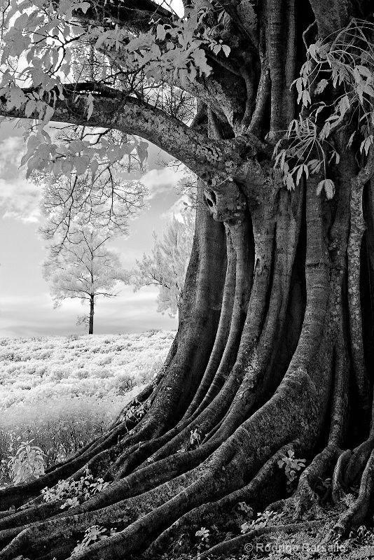 Rodrigo Barsallo:   Old tree at the coffee plantation