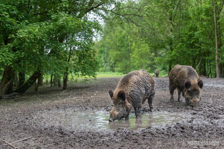 Wilde Zwijnen | Wild Boar @Natuurpark Lelystad