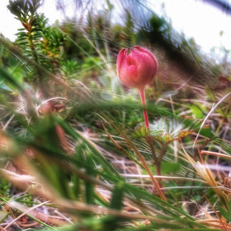 Hilla, lakka, suomuurain  Cloudberry