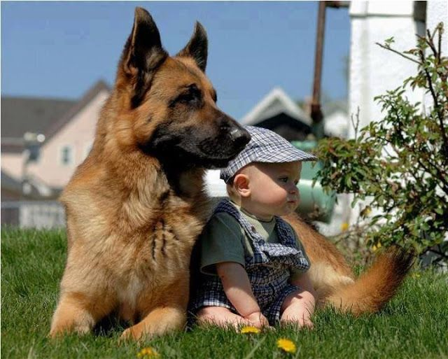 You will understand if you've had a shepherd. <3 Temperament and Personality of German Shepherd