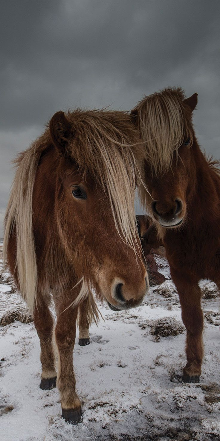 Friendly Icelandic horses coming in for their close-up - by Sean Scott