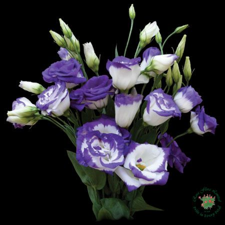 Lisianthus Preditions...  -----Lisianthus flowers symbolize an Outgoing Nature, Appreciation and Calming Thoughts.  The gorgeous Lisianthus portrays A Deep, Heartfelt, Romantic Desire. This exquisite flower also signifies Charisma and Congeniality.  A bouquet of beautiful, enchanting Lisianthus conveys your Admiration or Love For The Recipient and is also meant to be A Compliment to Their Outgoing Personality.  Lisianthus is associated with beautiful women and passionate life styles…