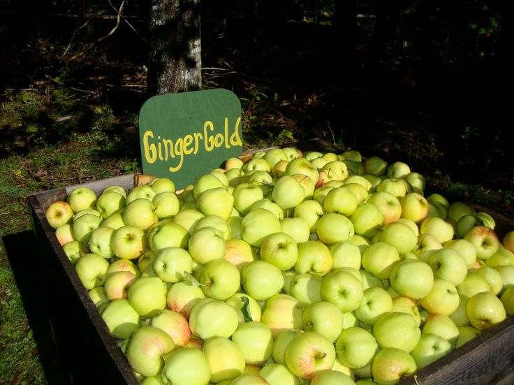 MacPhee's Apple U-pick will start Saturday September 14th 2013. They will begin w Sunrise, Gingergold (GingerCrisp) & Tydeman's Red apples. Gravenstein will start about a week later http://macpheesorchard.com/