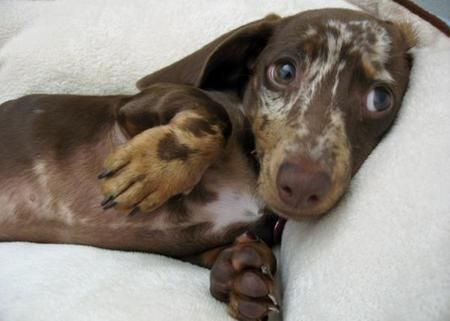 Truffles the Dachshund: Aww Doxi, Dachshund Puppies Names, Camo Colors, Dapple Dachshund, Doxie, Sweet Baby 3, Dogs Doxi, Weiner Dogs, Animal