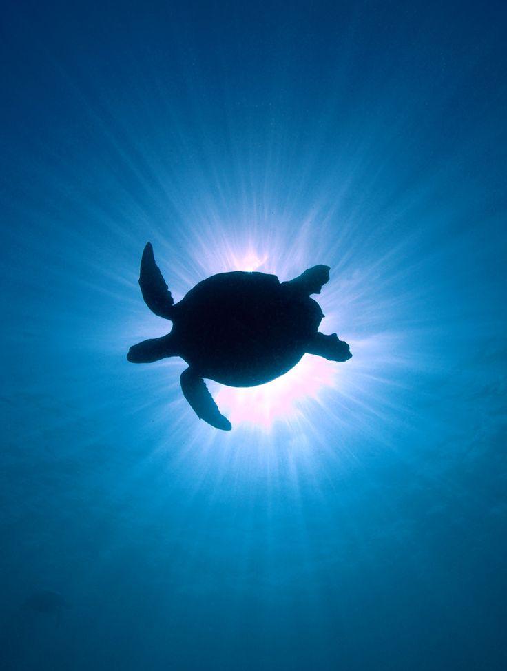 silhouette, turtle