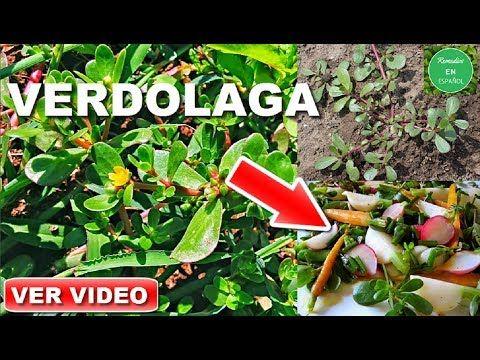 Esta Planta Milagrosa Recupera Tu Memoria un 100% Cura Las Enfermedades Mentales Ginkgo Biloba - YouTube