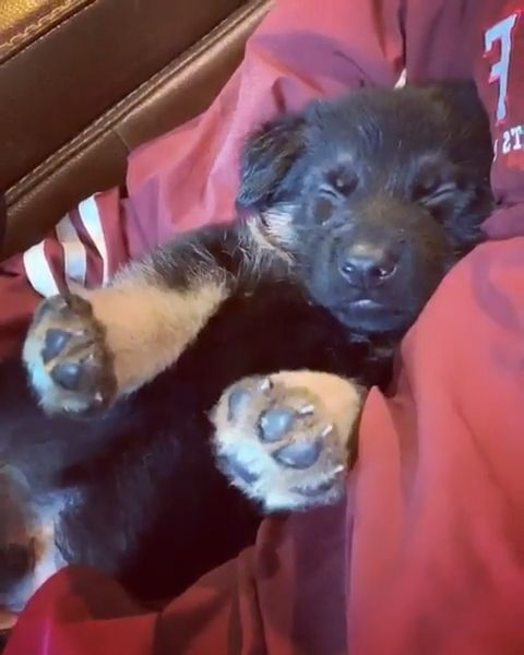 The cutest sleet German shepherd puppy