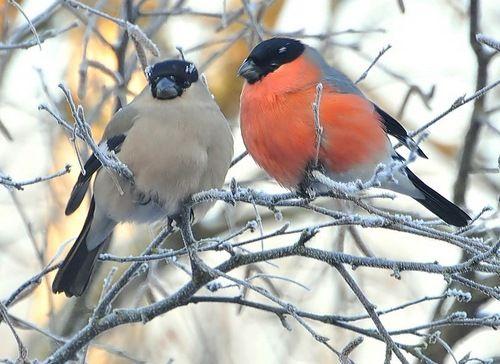 Певчие птицы России - снегирь