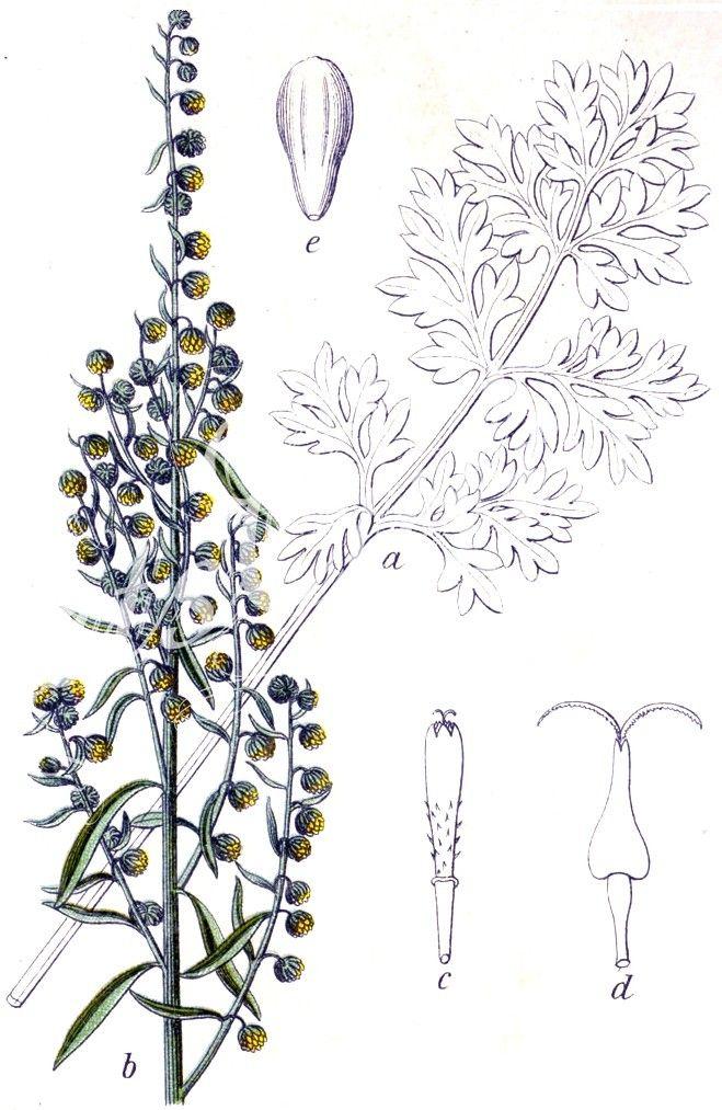 Artemisia_absinthium_13031      ...