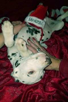 Dalmatian puppy for sale in BEECH GROVE, IN. ADN-58304 on PuppyFinder.com Gender: Male. Age: 16 Weeks Old