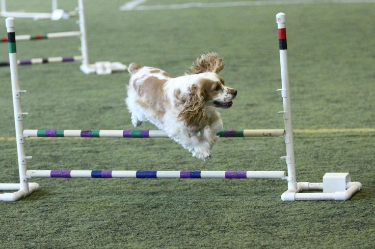 Fletch at his first agility competition.  Uploaded with permission by Kevin Devine Photography.