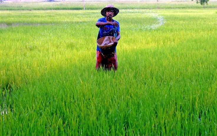 A farmer spreads fertilizer in his paddy field in Bago District, north of the commercial capital Yangon