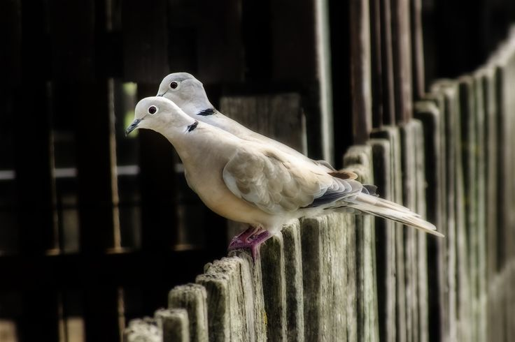 Eurasian collared dove by Maria Bruscha on 500px
