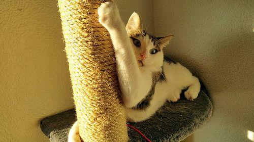 Rudy, gato blanquipardo mimosón nacido en Junio´14, necesita hogar. Valencia.